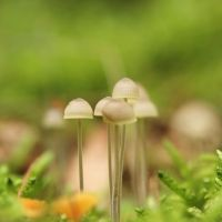 Piemelpaddenstoel