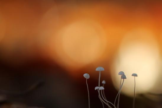 Marasmius: taailingen
