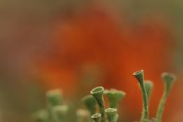 Cladonia Fimbriata: groen bekertjesmos