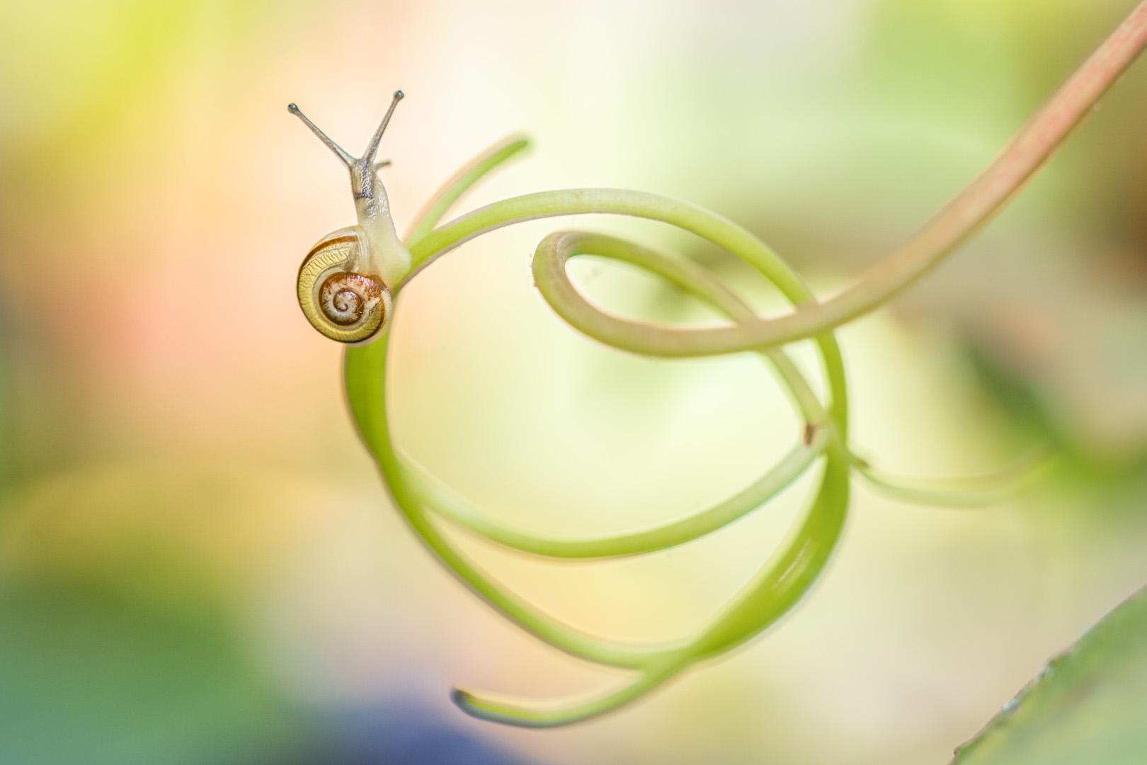 witgerande tuinslak; Cepaea hortensis; white-lipped snail