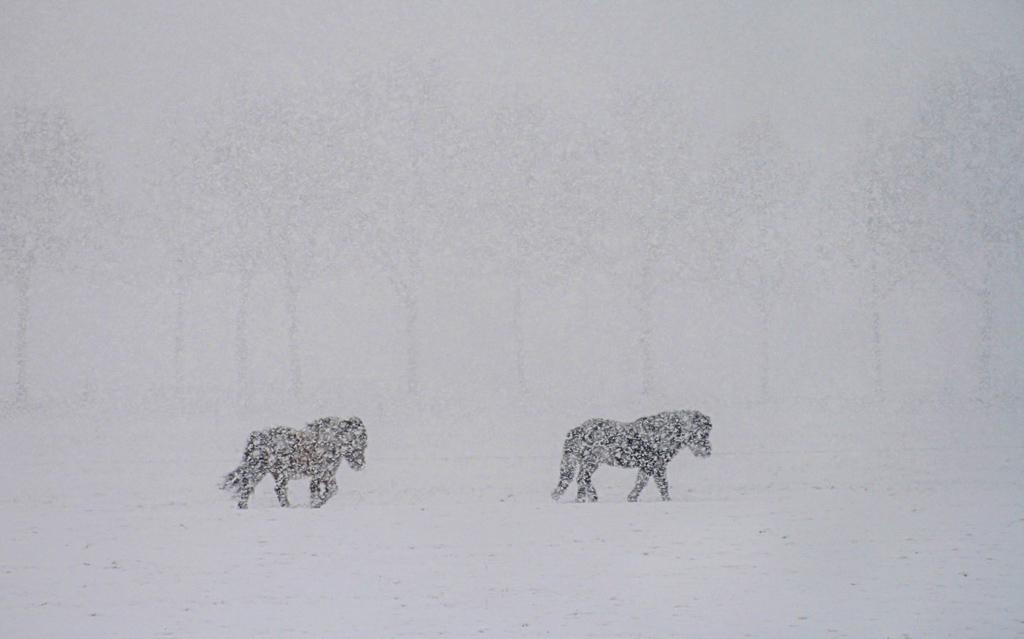 Sneeuwpaardjes